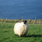 A Dingle sheep. Photo by Mary Tolan.