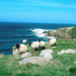 Sheep Grazing in Malinbeg, Glencolmcille. Courtesy of Tourism Ireland.