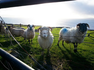 Sheep at Inch Beach in Co. Kerry. While many were encountered on the road, these were safely behind a fence.