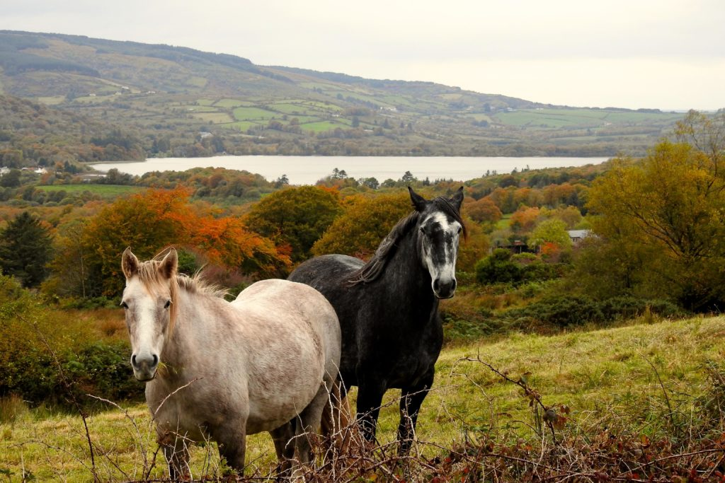 Autumn is a beautiful time of year to visit Clare. These inquisitive horses have a view of Lough Graney from the Sliabh Aughty Mountains near Caher.