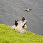 Some of the thousands of puffins that reside on the islands from April to August. Photo: Chris Ryan.