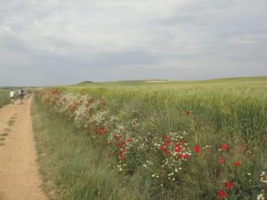 A field of red poppies along the way. Photo: Honora Harty.