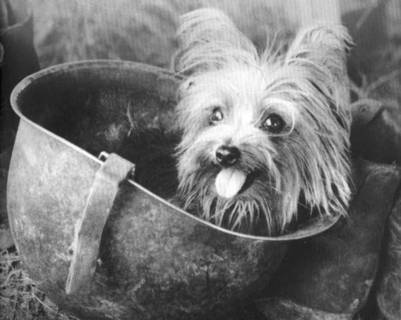 "Yank magazine named Smoky ""Best Mascot for the Southwest Pacific"" and printed this snapshot of the Yorkie peering from Wynne's helmet."