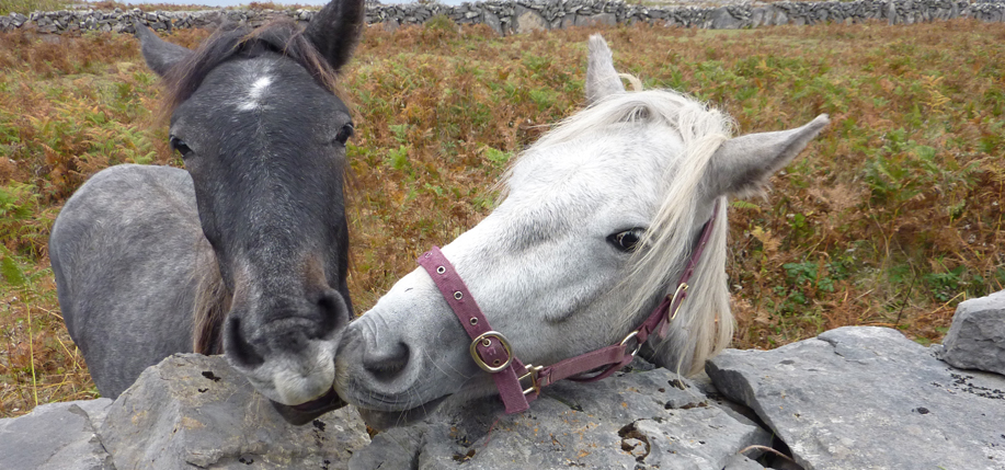 Horses on the island of Inismore.