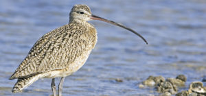 A curlew.